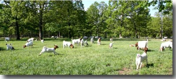 Bear Creek Boers - Boer Goats in Missouri