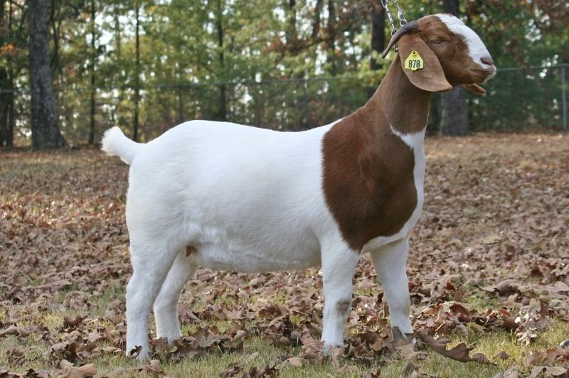 Bear Creek BC E878 Yogi's Showgirl - Boer Goat Doe