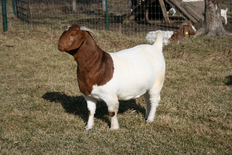 Bear Creek BC D780 Ms Energizer Bunny - Boer Goat Doe