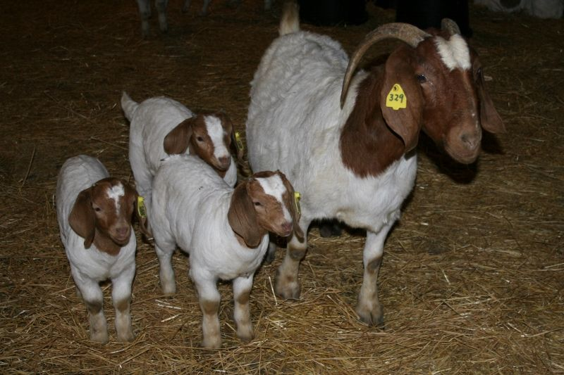 Bear Creek BC X329 Brooke - Boer Goat Doe