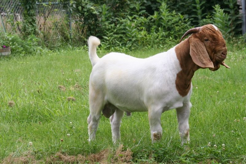 Bear Creek BC D846 - Boer Goat Buck