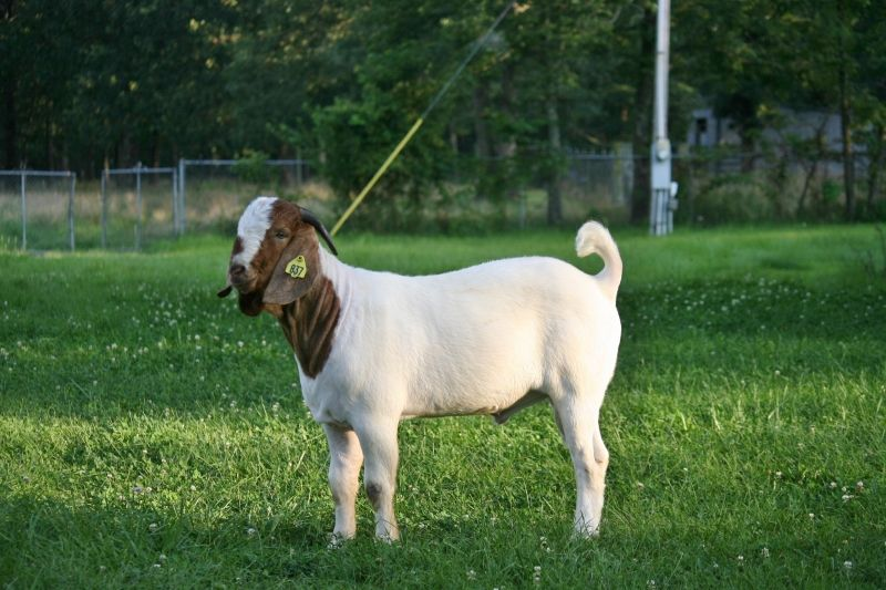 Bear Creek BC D837 Steam's Satisfaction - Boer Goat Buck