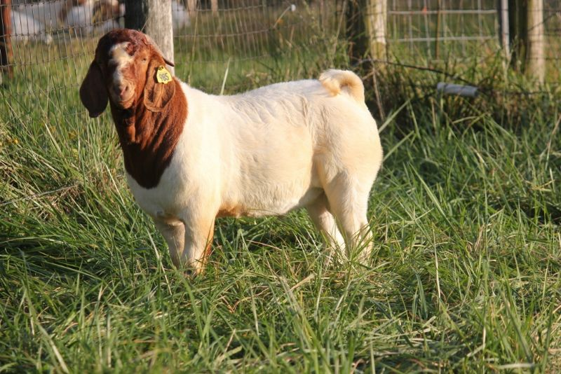 Bear Creek BC F985 - Boer Goat Buck