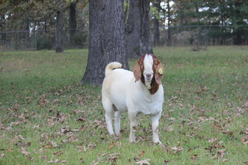Bear Creek BC G1014 - Boer Goat Buck