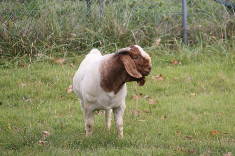 Bear Creek BC G1001 - Boer Goat Buck