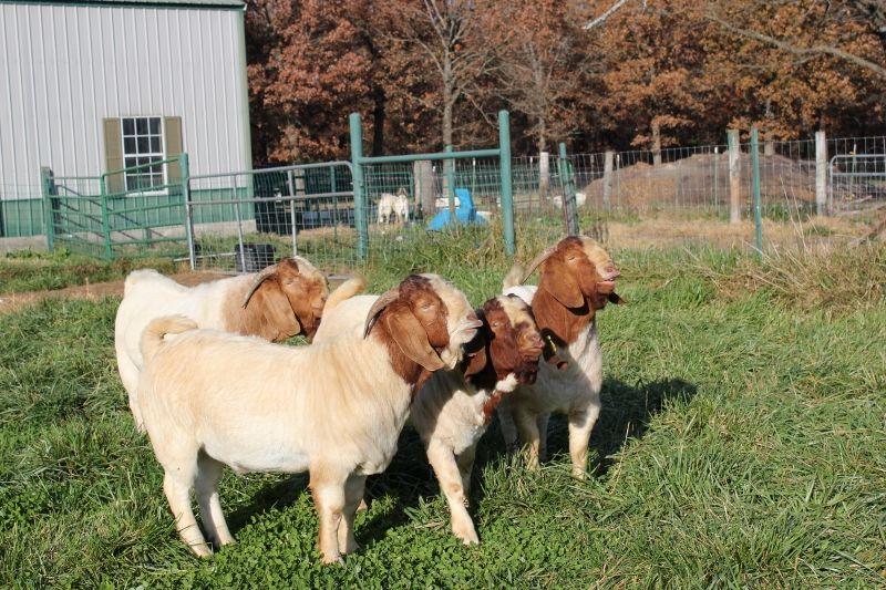 Bear Creek Bucks 2017 Group - Boer Goat Buck