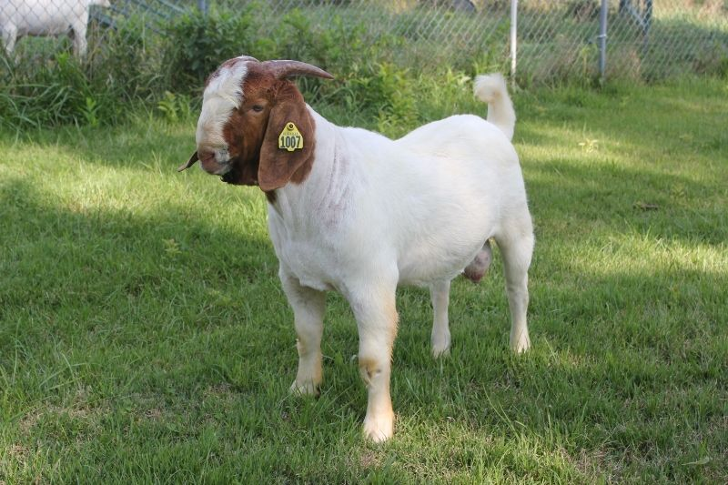 Bear Creek BC G1007 - Boer Goat Buck