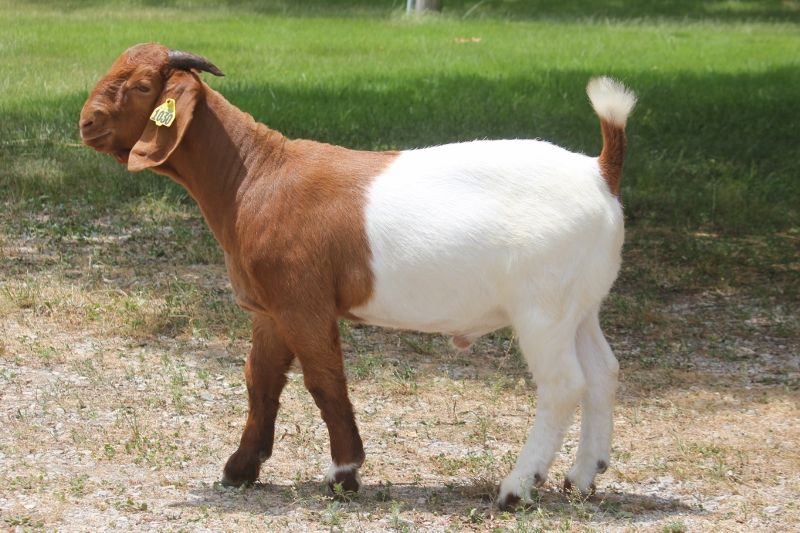 Bear Creek BC G1030 - Boer Goat Buck