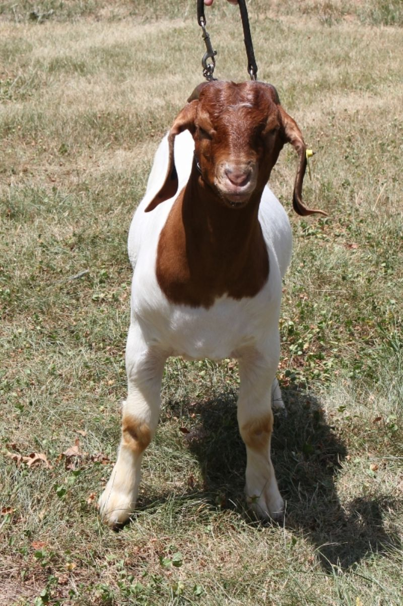 Bear Creek BC G1031 - Boer Goat Buck