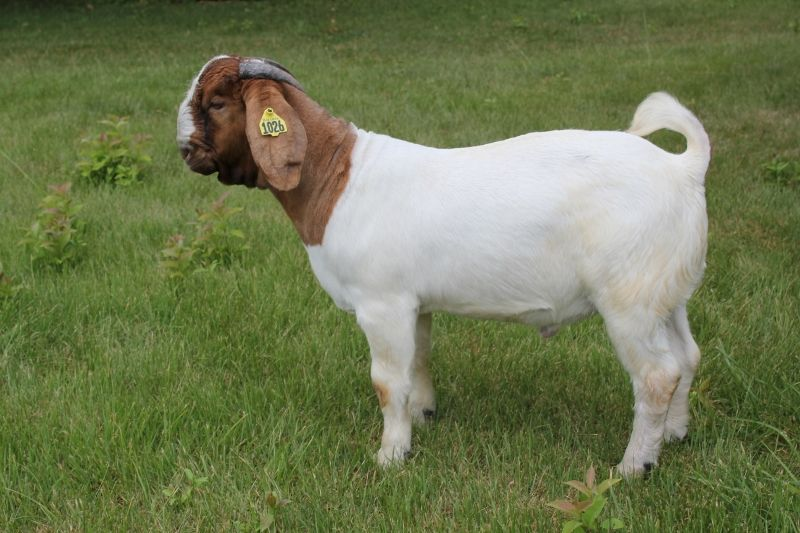 Bear Creek BC G1026 - Boer Goat Buck