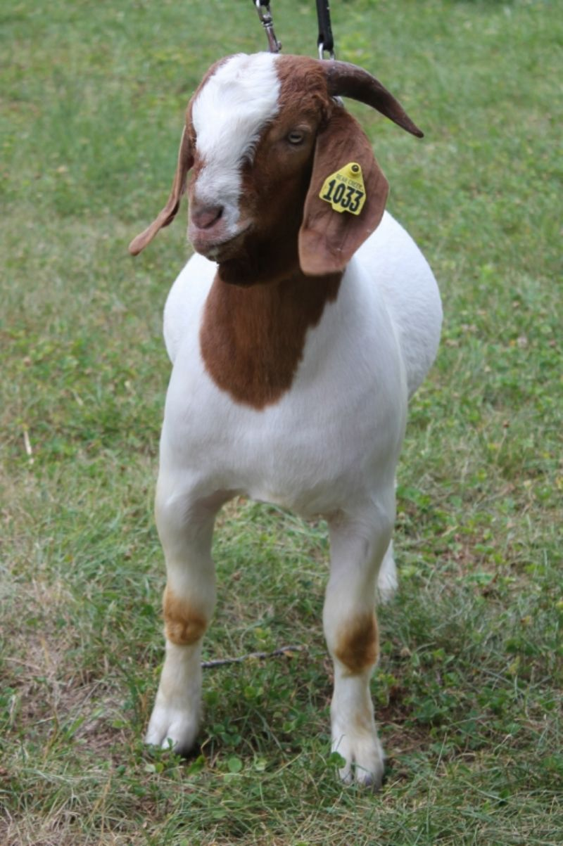 Bear Creek BC G1033 Dundee's New Frontier - Boer Goat Buck
