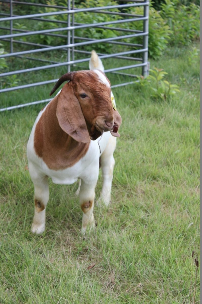 Bear Creek BC G1047 - Boer Goat Buck