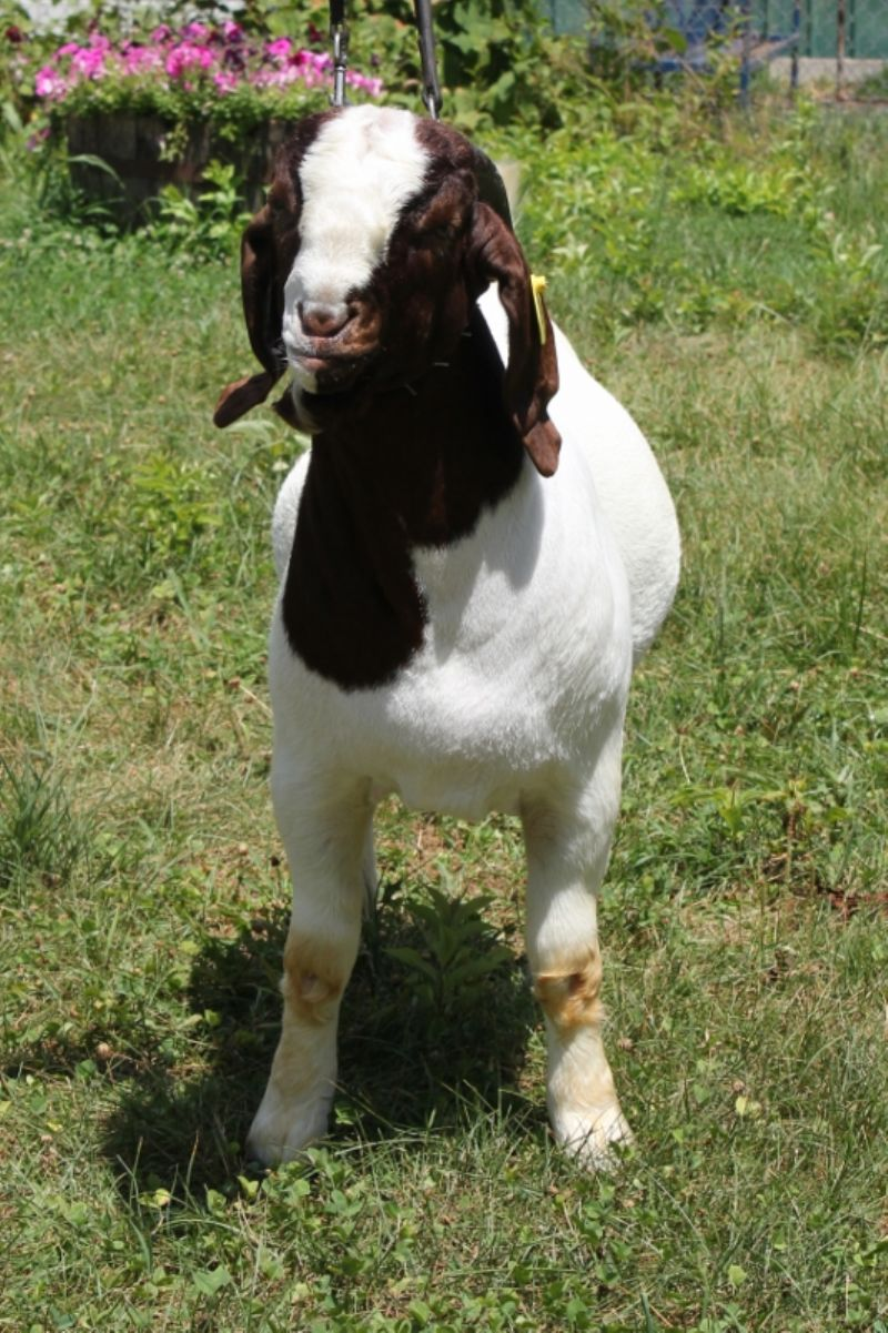 Bear Creek BC G1040 - Boer Goat Buck