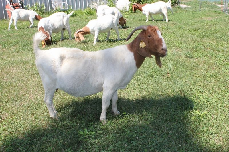 Bear Creek BC Z472 Ellie May - Boer Goat Doe