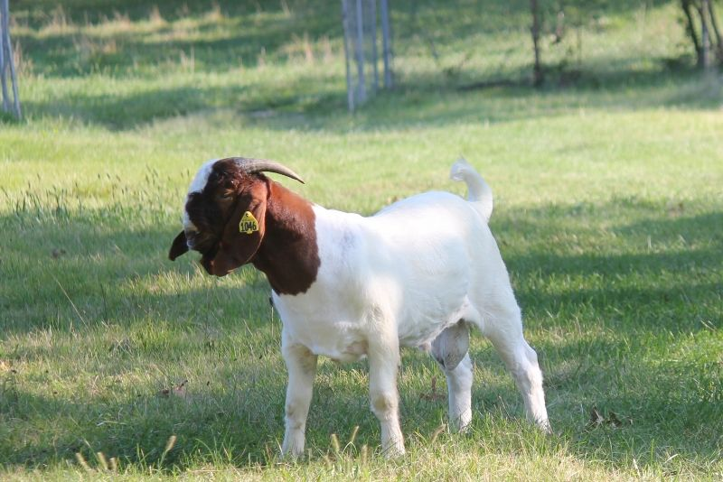 Bear Creek BC G1046 - Boer Goat Buck