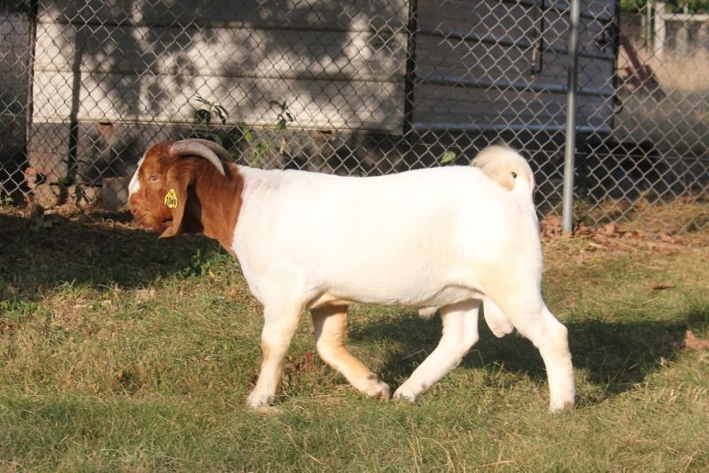 Bear Creek BC G1049 Southern Gentleman - Boer Goat Buck