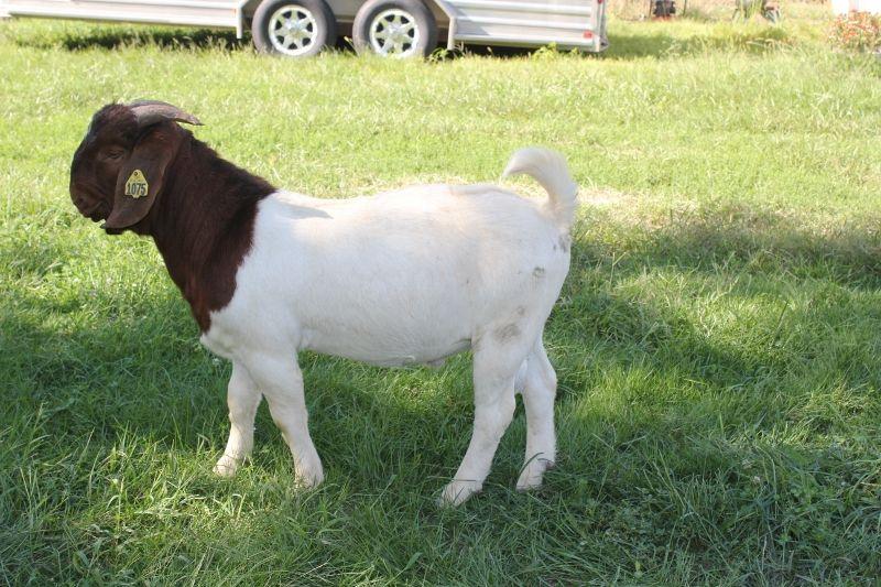 Bear Creek BC H1075 - Boer Goat Buck
