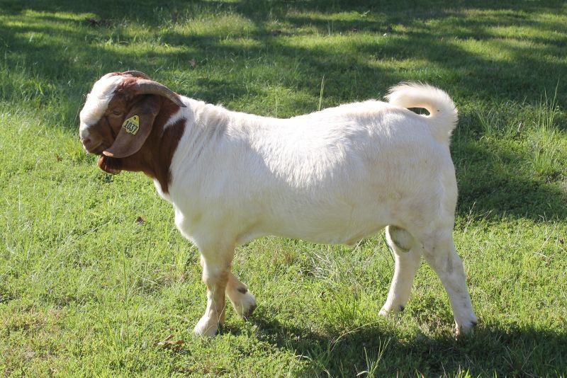 Bear Creek BC G1037 - Boer Goat Buck