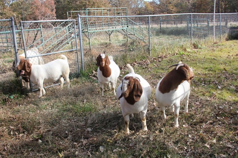 2018 Dec Doe Kids - Boer Goat Doe