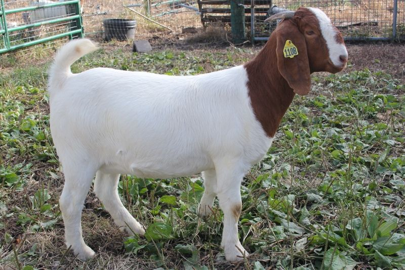 Bear Creek BC H1108 Sassy Pants - Boer Goat Doe