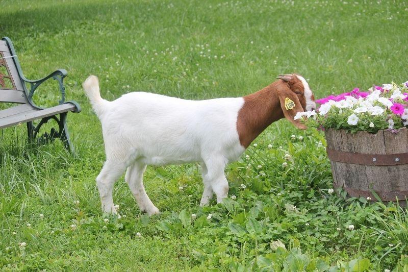 Boer Goats For Sale in Missouri from Bear Creek Boers