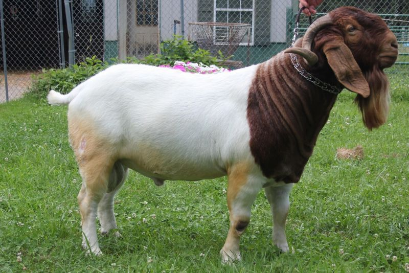 Bear Creek BC D974 Argo's Masterpiece - Boer Goat Buck
