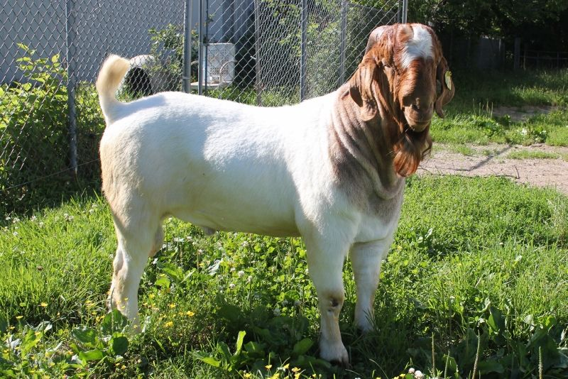 Bear Creek BC G1071 Dundee's Steppin Out - Boer Goat Buck