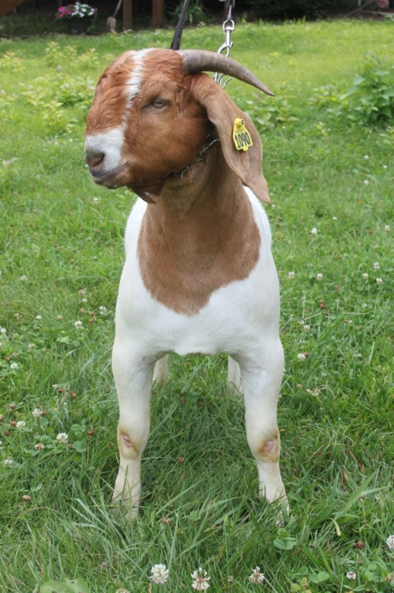 Bear Creek BC H1090 - Boer Goat Buck