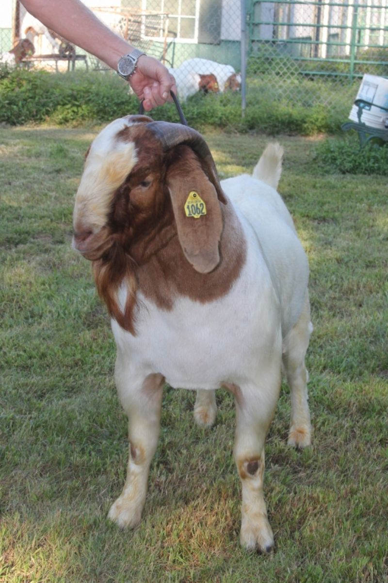 Bear Creek BC G1062 Harambe's Justified - Boer Goat Buck