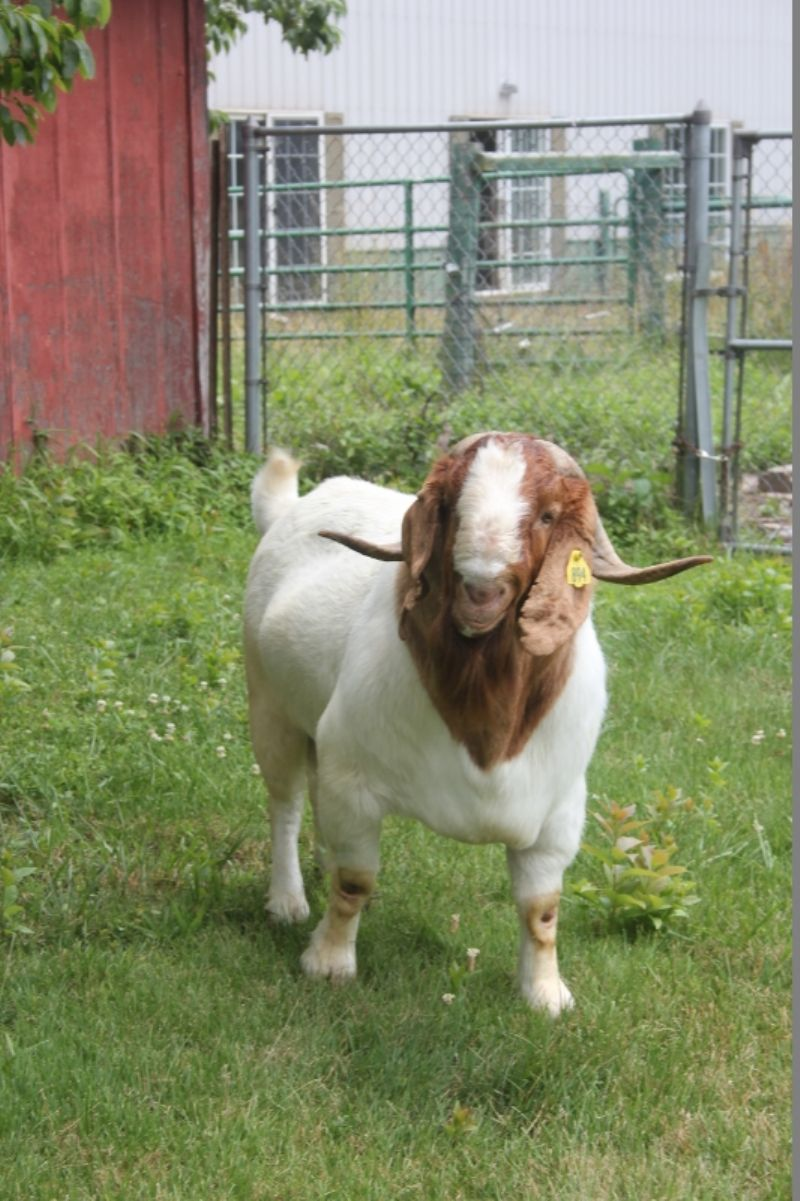 SEMEN from Bear Creek BC E894 Harambe - Boer Goat Buck