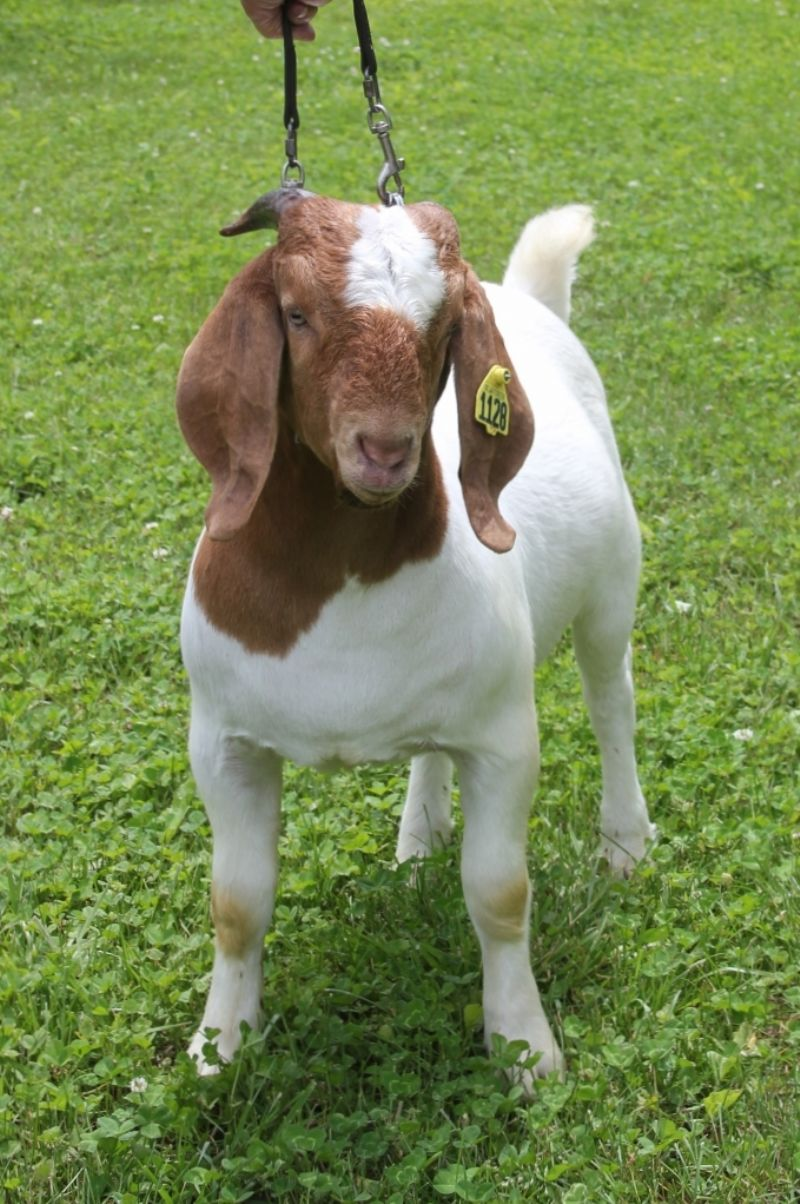 Bear Creek BC J1128 - Boer Goat Buck