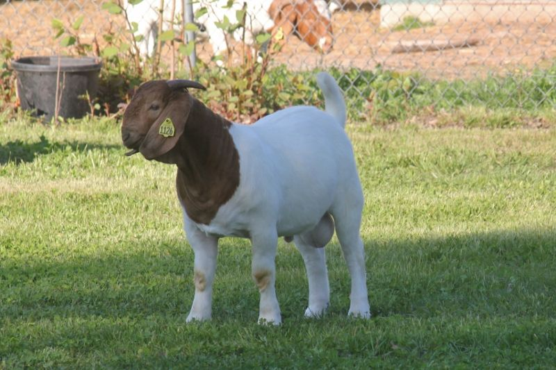 Bear Creek BC J1126 - Boer Goat Buck