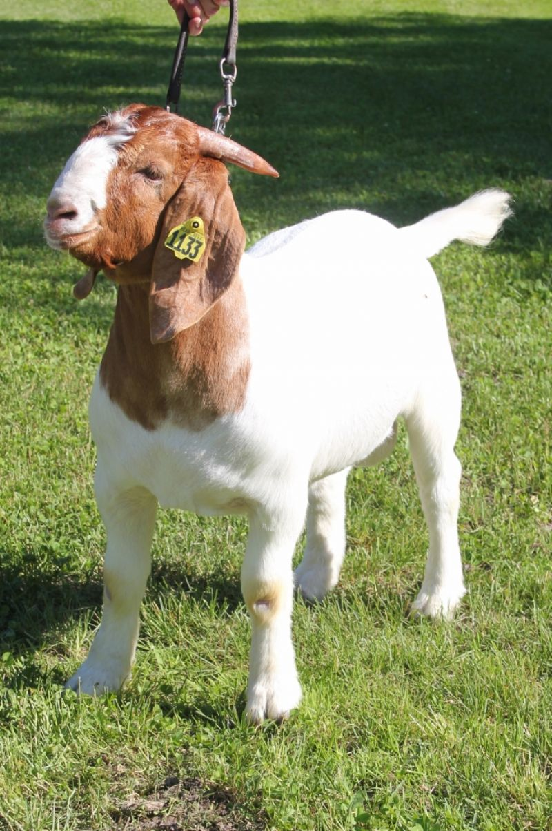 Bear Creek BC J1133 - Boer Goat Buck