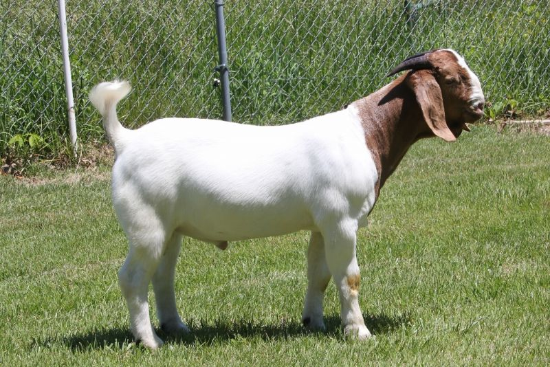 Bear Creek BC J1139 - Boer Goat Buck