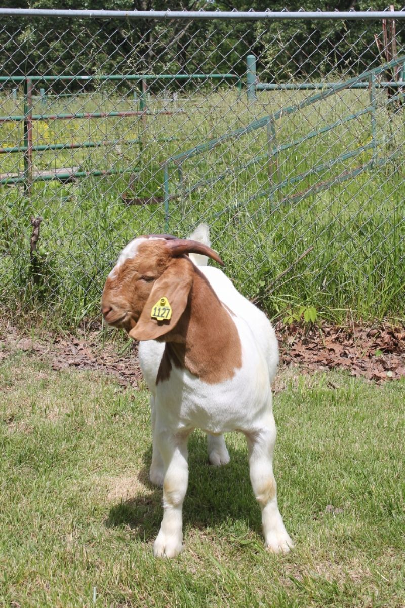 Bear Creek BC J1127 - Boer Goat Buck